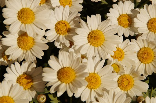 Margheriten, Daisies, Flowers, Many, Bloom, White