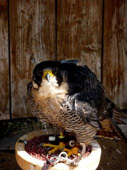 Falcon, Bird, Predator, Breeding Falcons