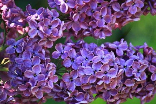 Lilac, Lilac Bush, Lilac Flower, Fliederblueten