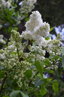 Lilac, White, Nature, White Lilac, Plant, Flowers