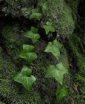 Ivy, Green, Nature, Plant, Leaf, Natural, Leaves