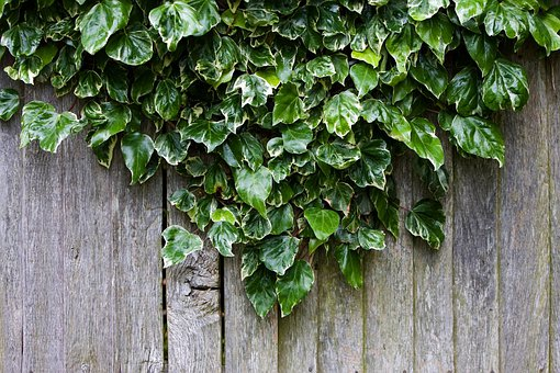 Ivy, Wood, Wooden, Fence, Plant, Growing, Pattern