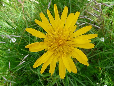 Had Salsify, Flower, Blossom, Bloom, Spring