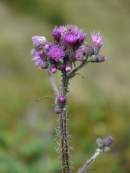 Hook And Ring Thistle, Hook And Thistle