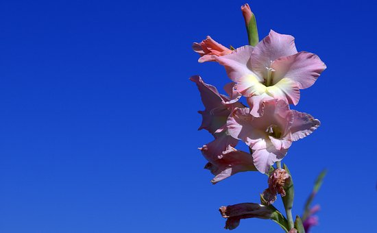 Gladiolus, Iridaceae, Violet
