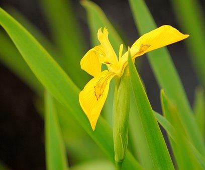 Iris, Flower, Blossom, Bloom, Swamp Iris, Yellow