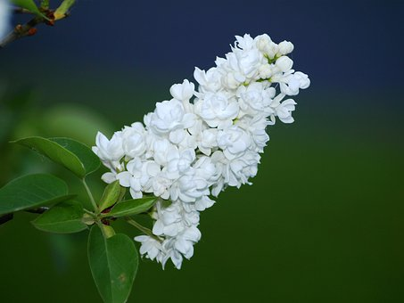 Lilac Flower, White, Lilac, Lilac Umbels