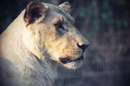 Lion, Animal, Cat, Lioness, Female, Predator, Big Cat