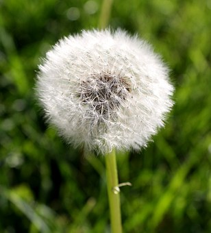 Dandelion, Puff Ball, Nature, Puff, Summer