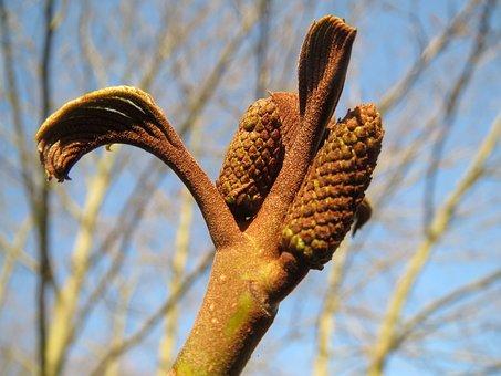 Pterocarya Fraxinifolia, Caucasian Wingnut
