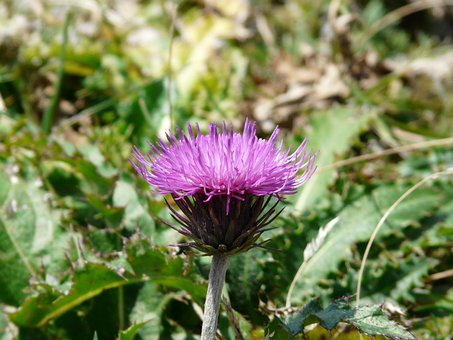 Alpine Thistle, Thistle, Blossom, Bloom, Flower, Purple