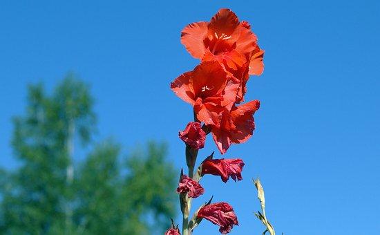 Gladiolus, Iridaceae, Flora, Red
