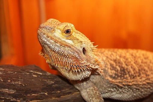 Lizard, Horned, Reptile, Tan, Wildlife, Scales