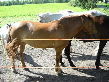 The Finnish Horse, Horse, Chestnut, Mare