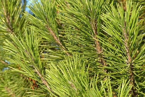 Pine, Dwarf Pine, Needles, Branches, Tree, Green