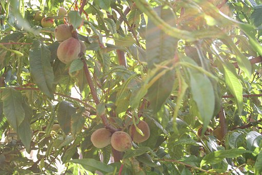 Peach, Witvlezige, Fruit Tree Netherlands