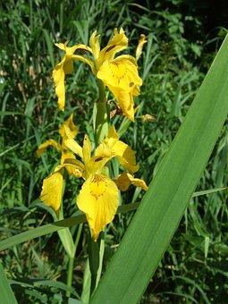 Flower, Iris, Swamp Iris, Yellow Iris, Iridaceae, Plant