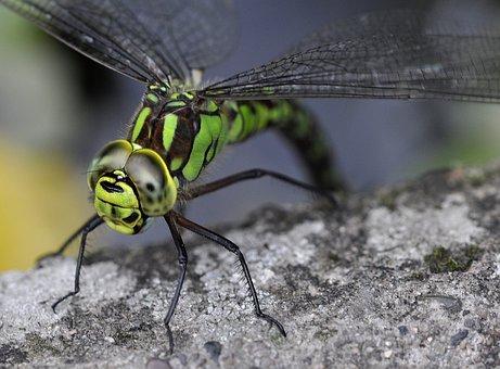 Aeshna Cyanea, Southern Hawker, Blue Hawker, Dragonfly