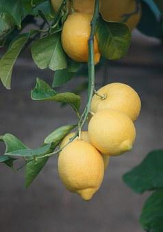 Lemons, Plant, Tree, Fruit, Agriculture, Garden