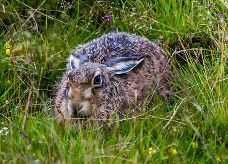 Hare, Wild, Mammal, Wildlife, Field, Animal, Grass