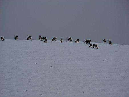 Deer, Snow, Winter, Hill, Animal, Wildlife, Wild
