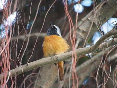 Daurian Redstart, Bird, Botanical Garden, Taipei