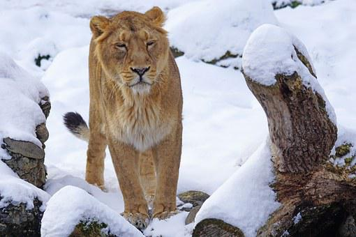 Lion, Indian, Female, Cat, Snow, Winter, Animals