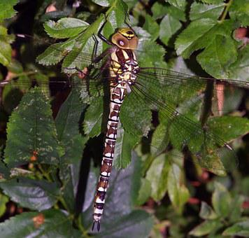 Dragonfly, Insect, Southern, Hawker, Nature, Uk