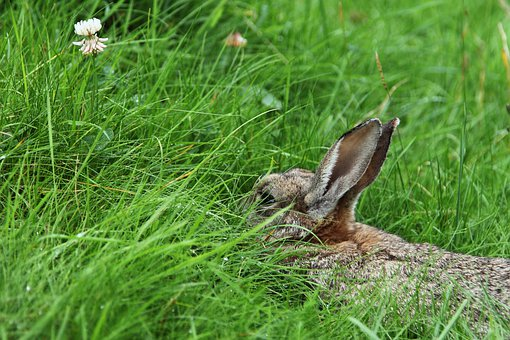 Animal, Bunny, Cute, Ear, Fluffy, Fur, Grass, Green