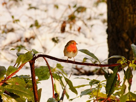 Robbin, Winter, Snow, Bird, Fly, Wings, Feather