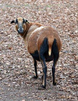Cameroon Sheep, Animal, Pet, Goats Similar, Knuffig