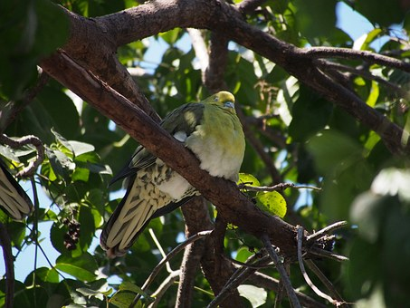 Green Dove, Bird, Taipei
