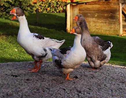 Geese, Guards, Large, Livestock, Garden, Jabbering