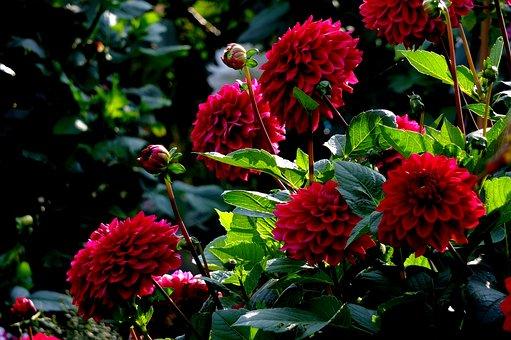 Dahlias, Flowers, Summer, Midsummer, Late Summer