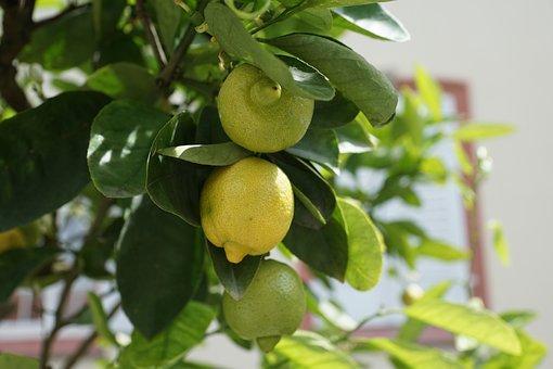 Lemon, Tree, Green, Sour, Fruit, Lemon Tree