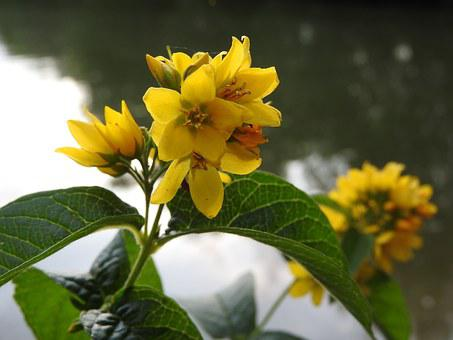 Vrbina, Lysimachia, Flower, Yellow, Yellow Flower