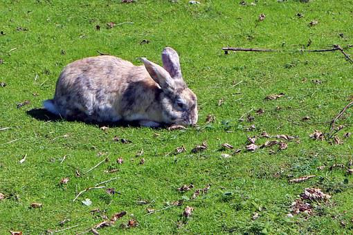 Rabbit, Hare, Meadow, Eating, Animal, Cute, Graze
