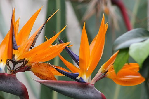 Flowers, Birds Of Paradise, Xalapa, Veracruz, Mexico