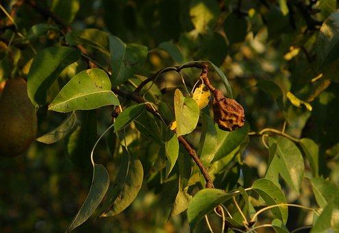 Pear Trees, Pear, Rotten Pear