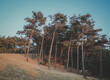 Woods, Pine Tree, The Wild, The Outskirts, Film
