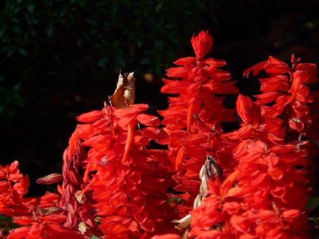 Fire Sage, Salvia Splendens, Sage, Salvia, Red