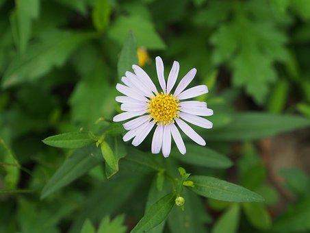 Indian Blanket Flowers, White Flower, Grass