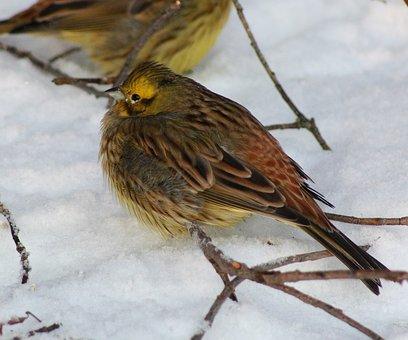 Yellowhammer, Bird, Nature, Outside, Winter, Snow