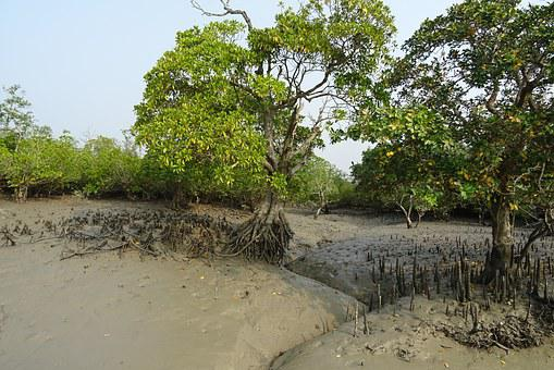 Mangroves, Aerial Roots, Sundarbans, Swamp, Forest