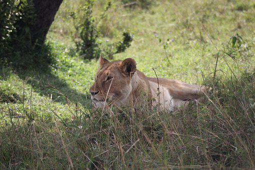 Afternoon Rest, Lioness, Siesta