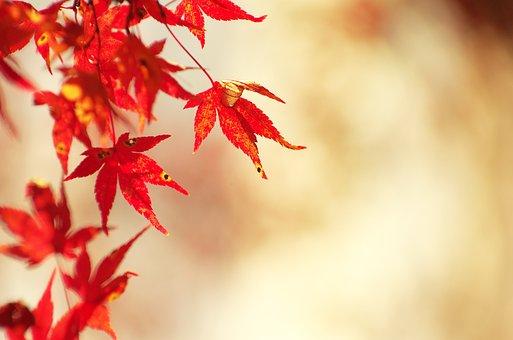 Autumnal Leaves, Maple, Autumn, Woods, Arboretum