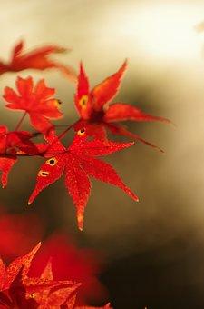 Autumnal Leaves, Maple, Autumn, Arboretum, Maples, Red