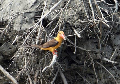 Brown-winged Kingfisher, Pelargopsis Amauroptera, Bird