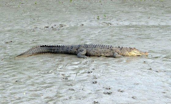 Saltwater Crocodile, Crocodylus Porosus, Estuarine
