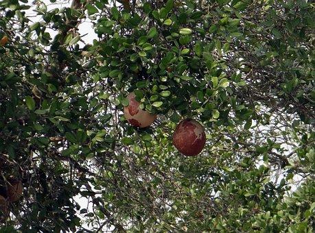 Dhundhul, Dhundal Tree, Mangrove Cannon-ball Tree